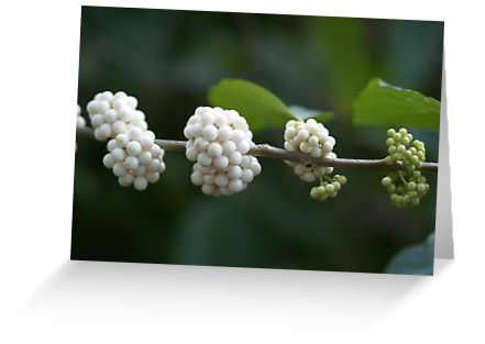 berries ripening from green to white